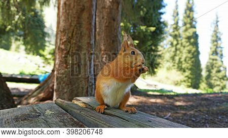 A Red Squirrel With A Bushy Tail Nibbles A Nut. Takes A Nut From His Hand. Forest Environment. Green