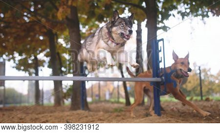 West Siberian Laika And Mixed Chart Dog Training. Jumping Over The Agility Hurdle. High Quality Phot