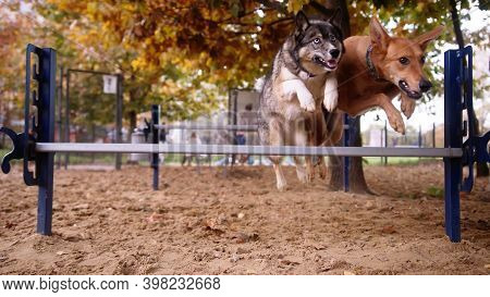 Dog Training. West Siberian Laika And Mixed Chart Jumping Over The Agility Hurdle. High Quality Phot
