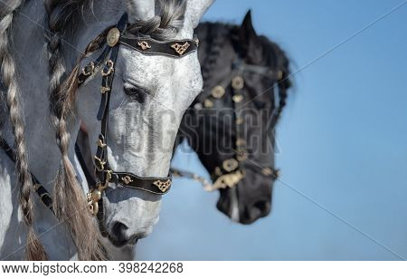 Portrait of two Andalusian horses in motion on sky background. Selective focus on white horse.