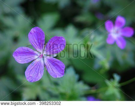 Forest Geranium (geranium Sylvaticum) Blooms In Summer With Purple Flowers