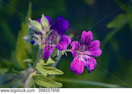 Geranium Sylvaticum Wood Cranesbill, Woodland Geranium Is A Species Of Hardy Flowering Plant In The