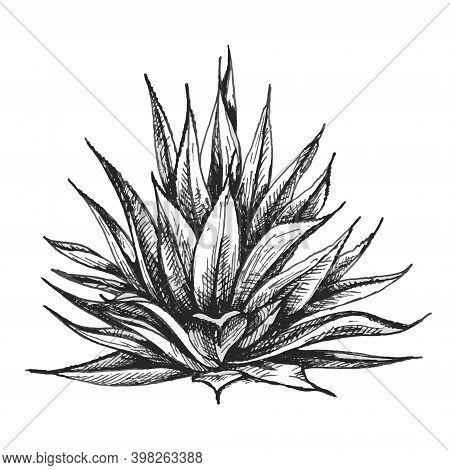 Cactus Blue Agave. Vector Monochrome Vintage Hatching Illustration. Isolated On White Background.