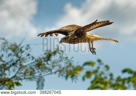 Yellow-headed Caracara - Milvago Chimachima Is A Bird Of Prey In The Family Falconidae. It Is Found