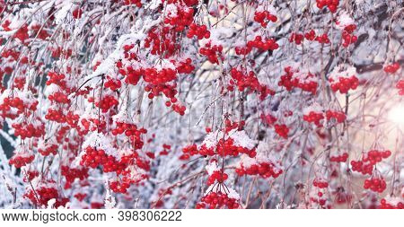 Horizontal winter banner with branches of viburnum with ripe red berries covered with frost. Branch of clad viburnum covered icy