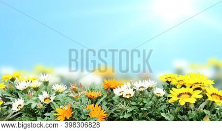 First spring wildflowers yellow, white and orange Adonis vernalis (Pheasant's eye). Sunny spring background with blue sky and flowers on flowerbed. Horizontal summer banner with False hellebore flower