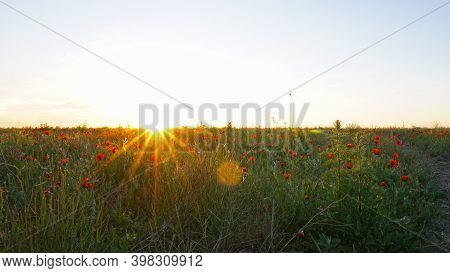 Poppy Fields At Sunset. Red Flowers With Green Stems, Huge Fields. Bright Sun Rays. Closer To Sunset