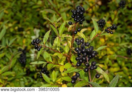 Close-up Of Wet Ripe Privet Berries On A Rainy Day In Autumn