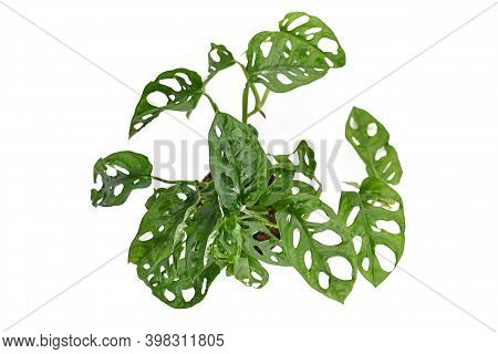 Top View Of Tropical Houseplant With Botanic Name 'monstera Adansonii' , Avine Houseplant With Holes