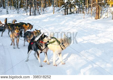 Dog sled resting. The toboggan run is rolled in deep snow. The sun is low on the horizon. Travel to Santa Claus. Short winter day in the Lapland. Exotic trip to the Arctic