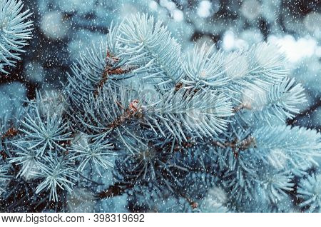 Christmas tree, winter Christmas tree branches. Winter Christmas snowy background with blue Christmas winter fir tree branches under falling snowflakes. Blue Christmas winter pine tree branches under winter falling snow