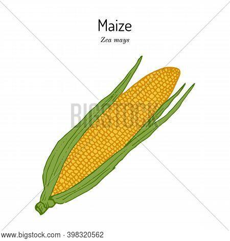 Sweet Corn, Maize Cob Zea Mays . Hand Drawn Botanical Vector Illustration