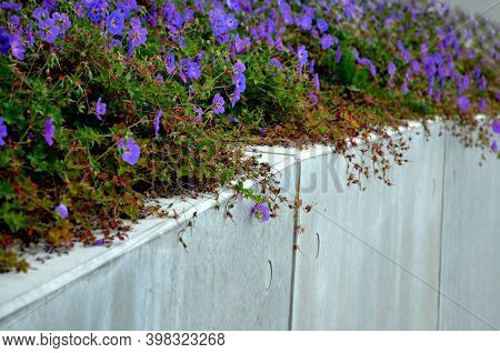blue recumbent perennials grow at the edges of the pavement from marble granite cubes, or on a retaining wall of light-colored cast concrete.