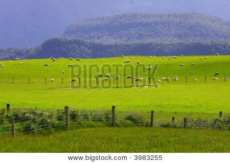 Sheep Flock New Zealand