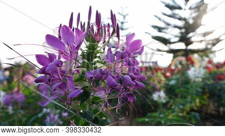 Colorful Flower.flower For Postcard Beauty Decoration And Agriculture Concept Design. Beautiful Flow
