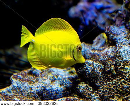 Yellow Tang Surgeon Fish Grazing Algae On The Coral Reef.