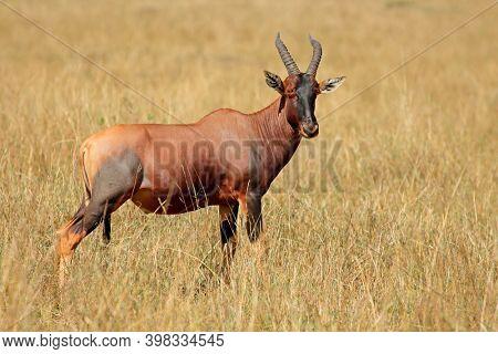 A topi antelope (Damaliscus korrigum) in grassland, Masai Mara National Reserve, Kenya