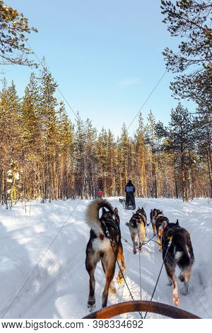 Sled dogs are husky. Team of husky dogs carries sledges with tourists. The toboggan run is rolled in deep snow. The sun is low on the horizon. Travel to Santa Claus. Arctic. Lapland