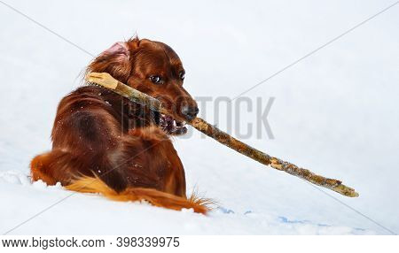 Dog breed Irish Red Setter with stick. Wintertime horizontal outdoors image.