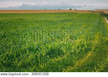 Rural Landscape Maize Field With Young Corn Sprouts. Young Green Cornfield Plantation. Agricultural