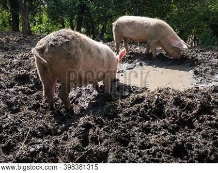 Two Domestic Dirty Hogs And Sows Dig Mud With Their Snouts Around Mud Pit With Bilge, Mud And Murky