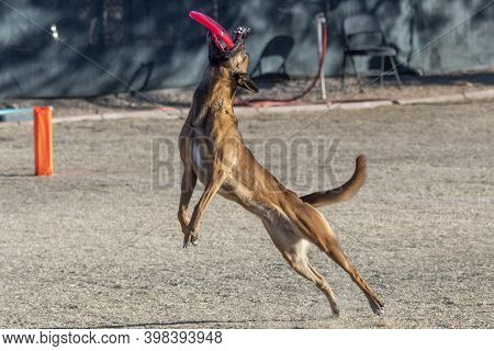 Malinois About To Grab A Disc During A Toss And Fetch Game