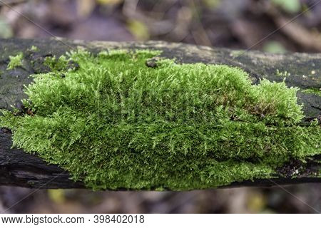 The Green Mountain Moss With A Lot Of Moisture. Selective Focus.