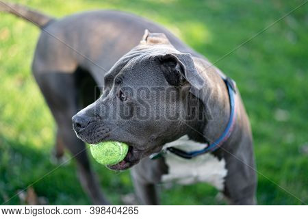 Pitbull Puppy Has A Tennis Ball And Is Waiting To Play Fetch
