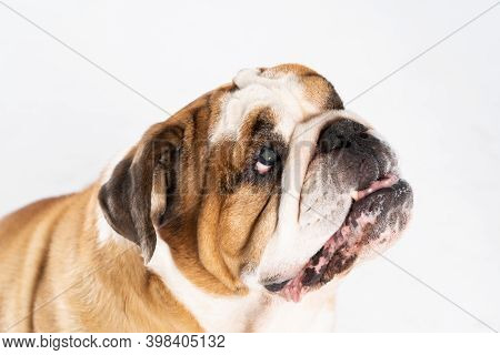 Closed Mouth. The English Bulldog Was Bred As A Companion And Deterrent Dog. A Breed With A Brown Co