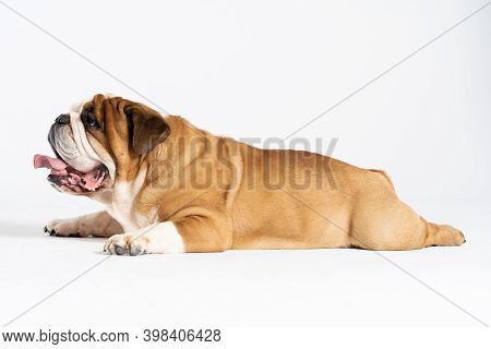 The Dog Is Lying Down With Its Mouth Open. The English Bulldog Was Bred As A Companion And Deterrent