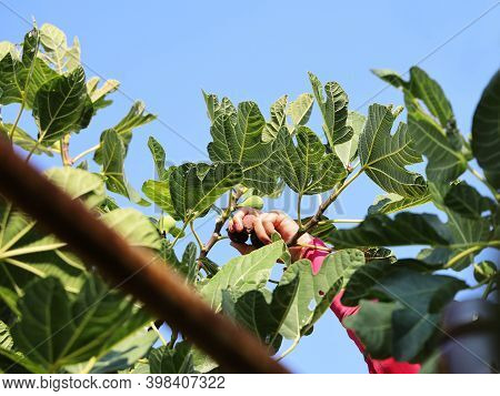 Hand Reaches Out And Picks Ripe Figs From Branch With Green Leaves On A Background Of The Sky On Sun