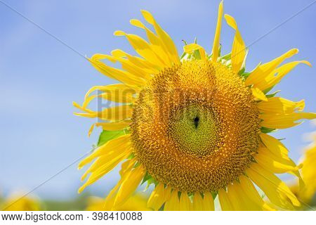 A Close Up Shot Of The Sunflower, The Seeds Are Clearly Visible And The Pollen Pollen Is Clear. Sky