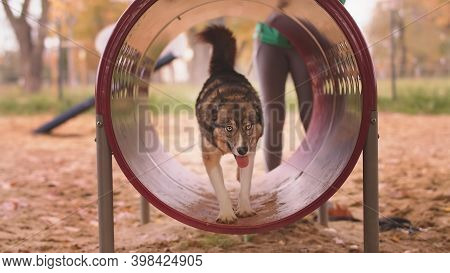 West Siberian Laika Walking Through The Agility Tunnel. Dog Training. High Quality Photo