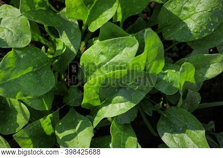 Fresh Organic Leaves Of Spinach In The Garden. Young Shoots Of Spinach In Vegetable Garden. Spinach