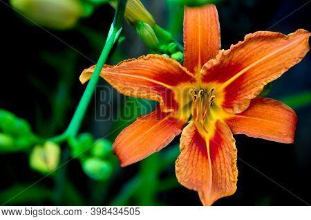 Beautiful Bright Daylilies In A Flower Bed. Orange Flowers Are Daylilies Or Hemerocallis. Daylilies