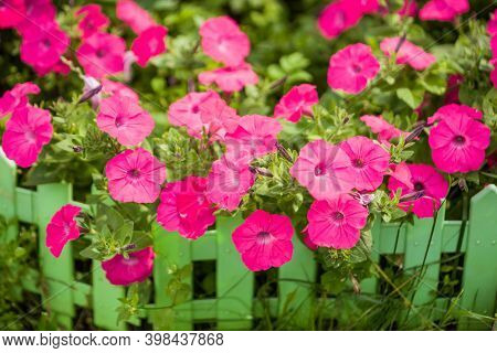 Petunia. Surfinia or calibrachoa. Pink flowers on a green summer background. Spring bloom