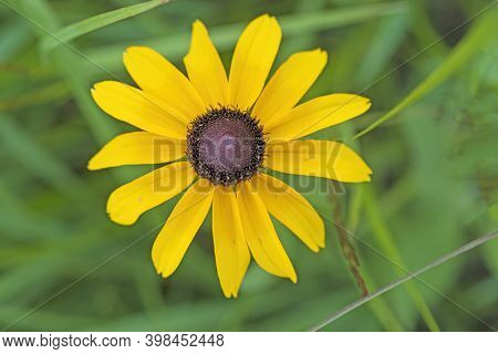 Black Eyed Susan In A Native Prairie In Goose Lake Prairie State Natural Area In Illinois