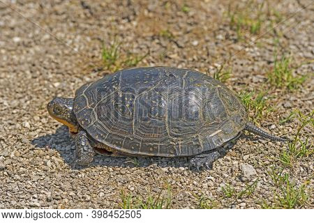 Blandings Turtle Near A Prairie Pond In Goose Lake Prairie State Natural Area In Illinois