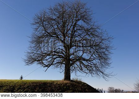 Lonely Autumn Tree Without Leaves On A Green Meadow And Blue Sky, Trees Without Leaves Exist In Autu