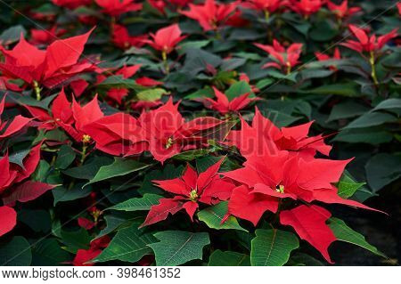 Growing Red Flowers Of Poinsettia, Also Known As The Christmas Star Or Bartholomew Star