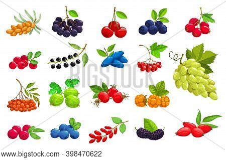 Cartoon Berries Vector Sea Buckthorn, Black Chokeberry And Cherry. Blueberry, Hawthorn And Lingonber