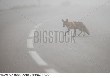 Red Fox Crossing Asphalt Road With Middle Line In Mist