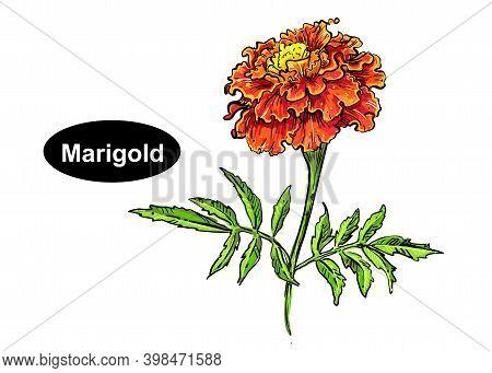 Detailed Hand Drawn Color Vector Illustration Of Marigold. Sketch. Vector Eps 8