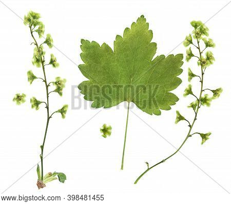 Pressed And Dried Flower Currant, Isolated On White Background. For Use In Scrapbooking, Pressed Flo
