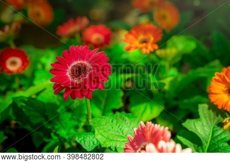 Red Gerbera Flower On Blur Background Of Orange And Pink Gerbera Flowers In Garden. Decorative Garde