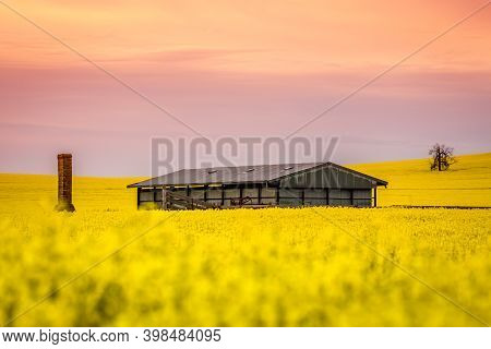 Barn And Remains Of Old Ruin Sit In A Field Of Flowering Canola