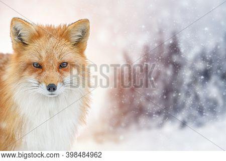 Portrait Red Fox, Vulpes Vulpes, Beautiful Animal On Winter Background. Wildlife Nature