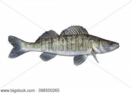Zander. Walleye Live Fish Isolated On White Background. Sander Pikeperch Fishing