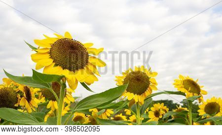 Field Of Sunflower Plant Blossom In A Garden, View From Front Of Yellow Petals Flower Head Spread Up