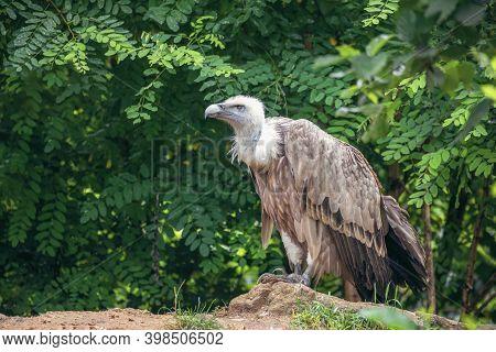 Himalayan Vulture Or Himalayan Griffon Vulture (gyps Himalayensis) Head And Neck